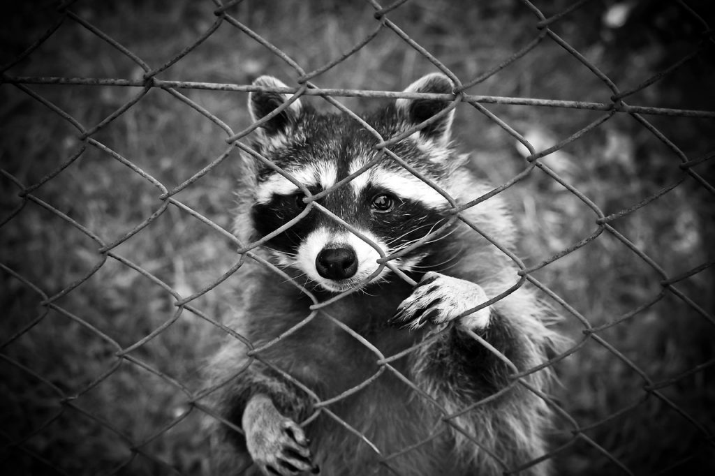 Raccoon behind the fence, Varmints in the Garden